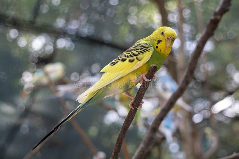 Budgie amarillo y verde en una rama fuera del periquito fotografía de archivo libre de regalías