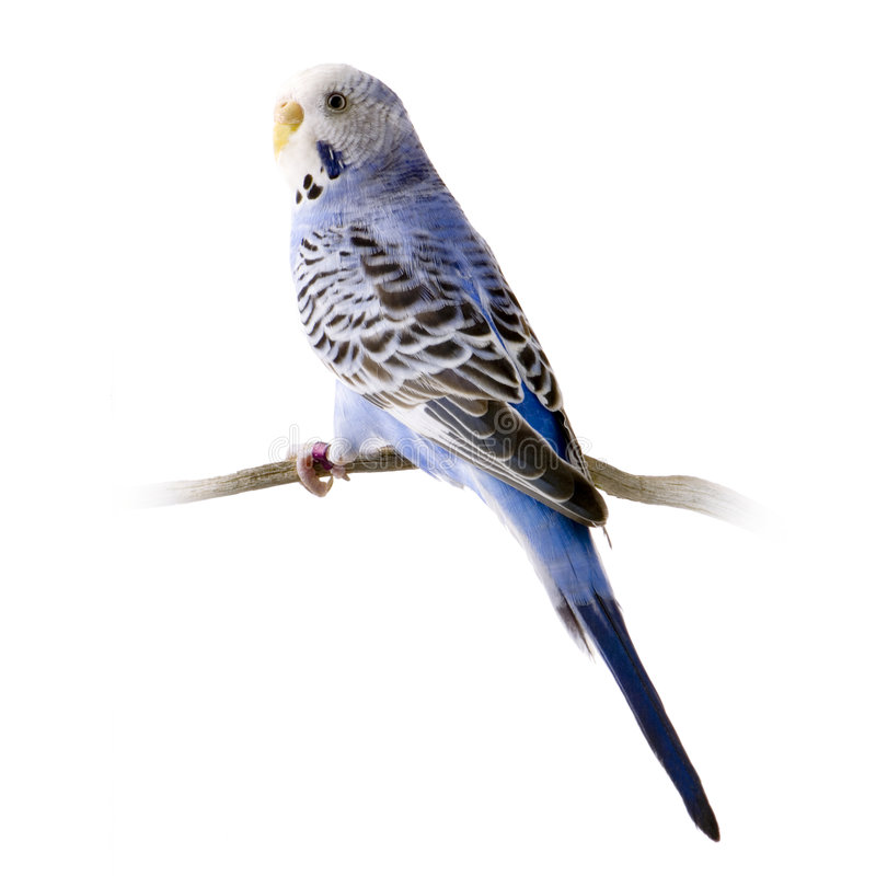Budgie bleu et blanc photographie stock libre de droits