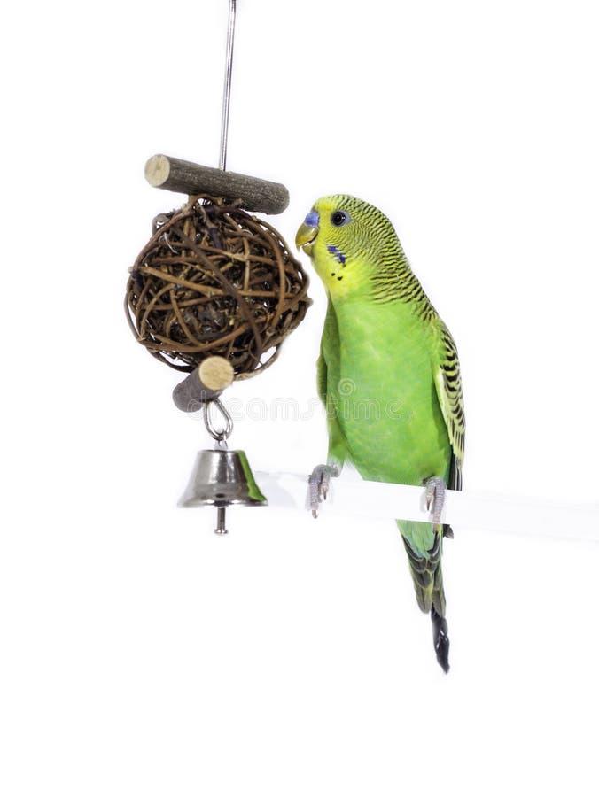 Budgie e seu brinquedo do sino fotos de stock royalty free