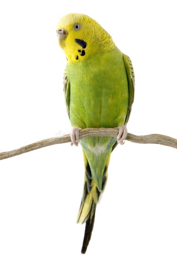 Budgie giallo e verde immagine stock