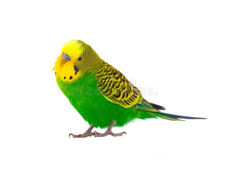 Budgie stock image  Image of birds, small, wavy, yellow