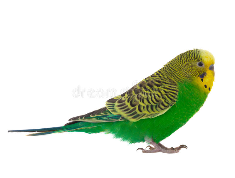 Budgie stock image  Image of birds, small, wavy, yellow