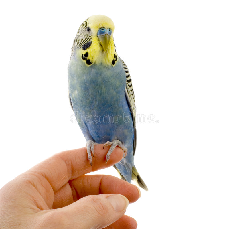 Budgie On A Hand Stock Images