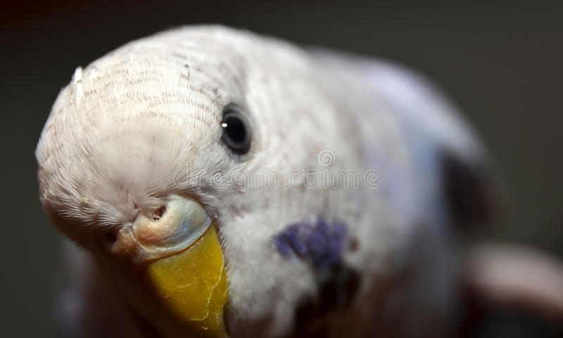 Budgie royalty free stock photography