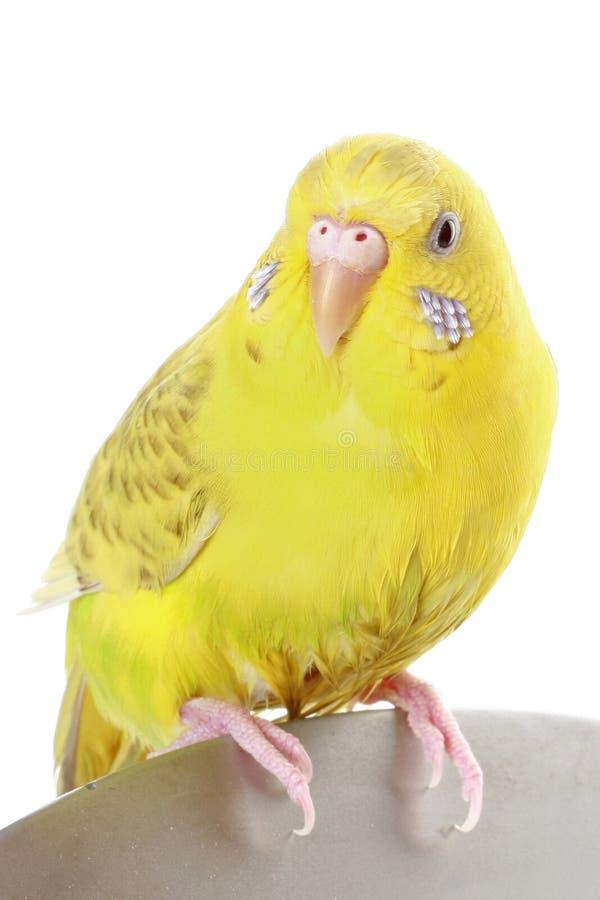 Budgie jaune photos libres de droits