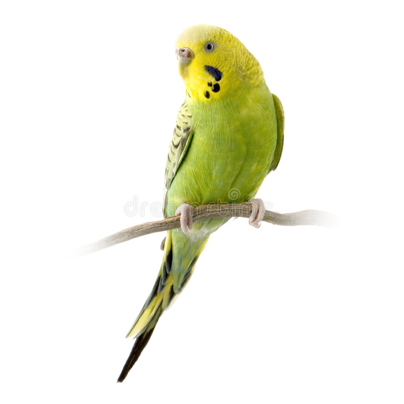 Budgie jaune et vert photos stock