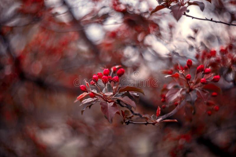 budgie röd skjuten treevertical för äpple arkivbilder