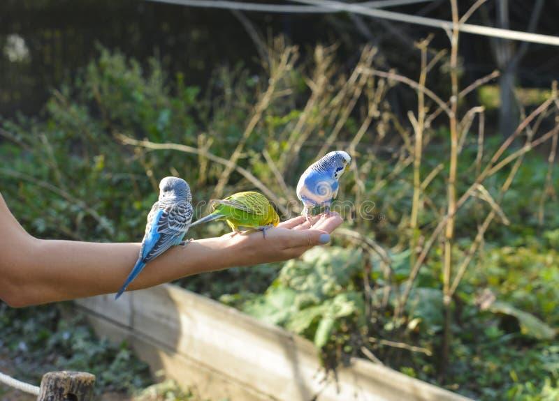 Budgie três multicolorido na mão de uma mulher os papagaios fotografia de stock