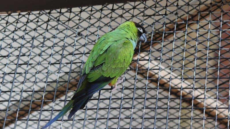 Budgie verde no aviário de Kindgom do pássaro em Niagara Falls, Canadá imagens de stock