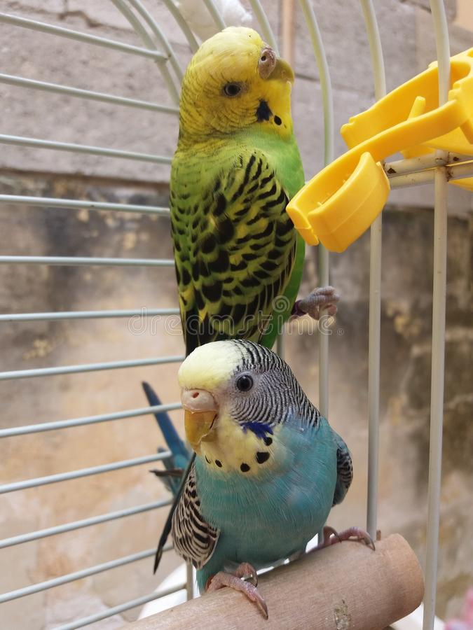 Budgies royalty free stock images
