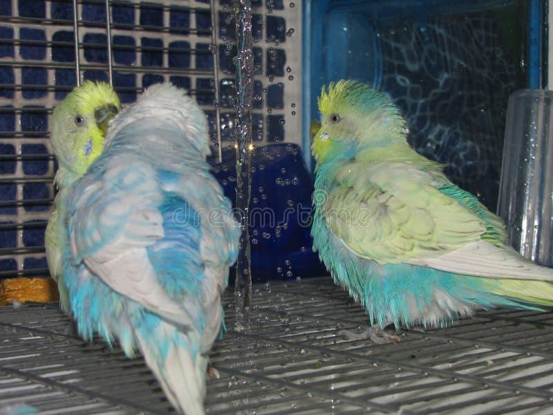 Budgies coloridos lindos que tienen una ducha agradable imagenes de archivo
