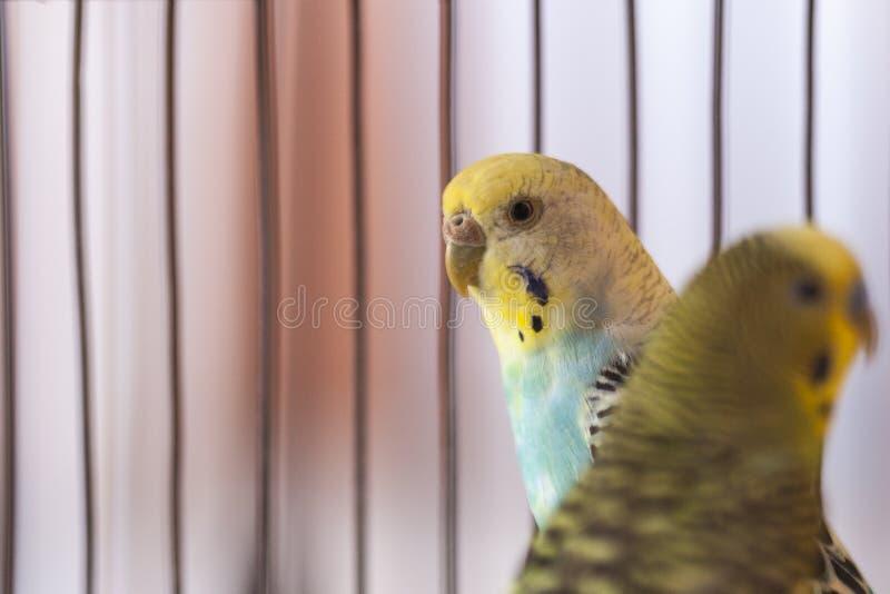 Budgies verdi in birdcage Casa Pappagalli Pappagallino ondulato divertente immagini stock libere da diritti