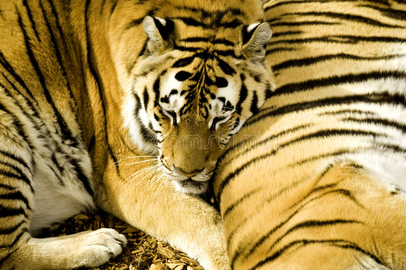 Download Buds stock photo. Image of nature, tiger, carnivore, outdoors - 1403390