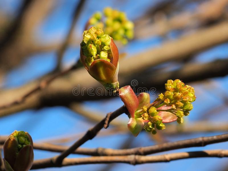 Buds of Acer platanoides starting to grow. The buds an blossom from the Acer platanoides are  important spring flowers for insects stock photos