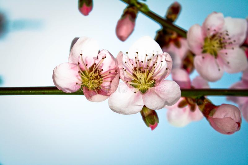 Buds of almond blossom. Spring ,pink and blue,flowers royalty free stock photos