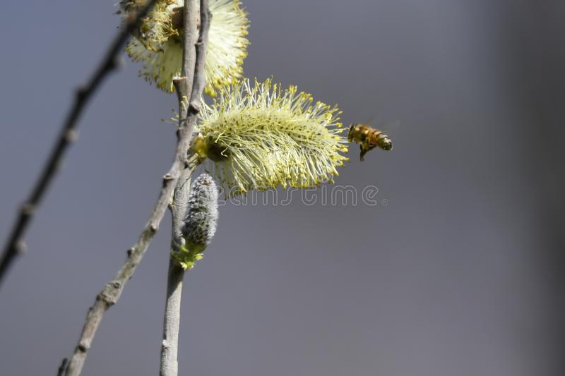 Buds and bee on the tree royalty free stock images