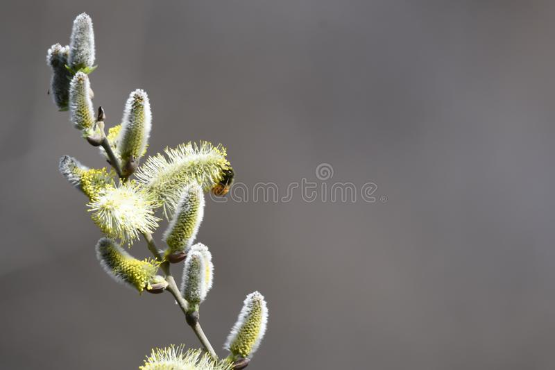 Buds and bee on the tree royalty free stock image
