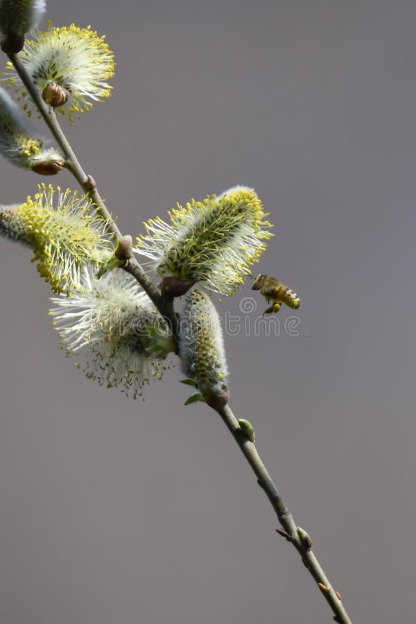 Buds and bee on the tree royalty free stock photo
