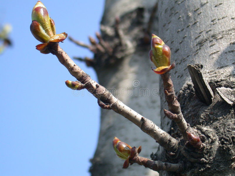 Buds of the birch stock images