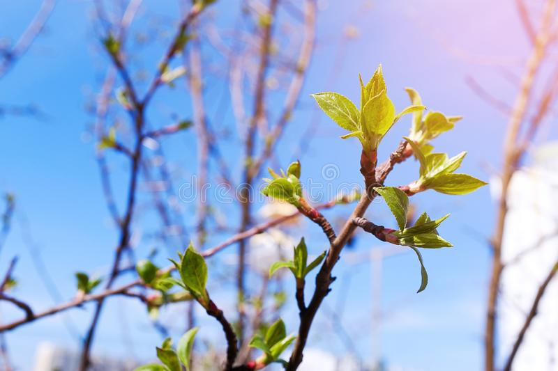 Buds bloom on a tree branch on a Sunny day, close-up, blurred background. The appearance, germination of the first spring leaves.  royalty free stock photos
