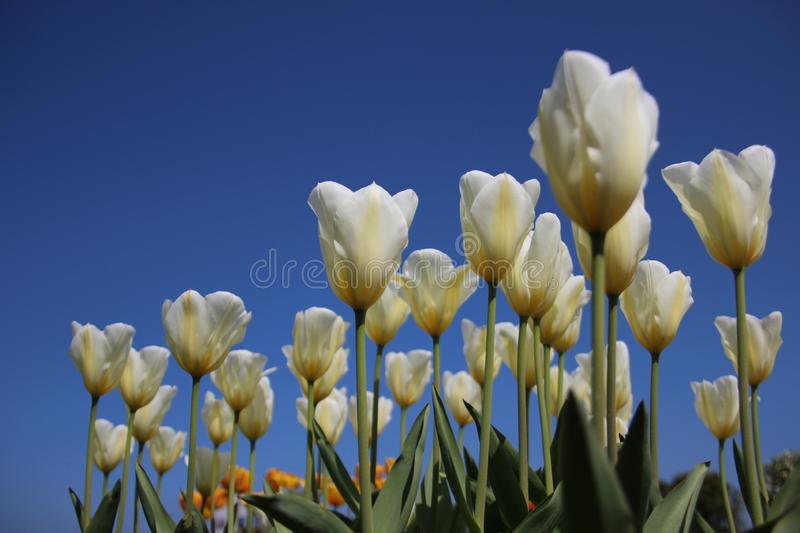 Garden.  Blooming White Tulips In Sunny day stock image