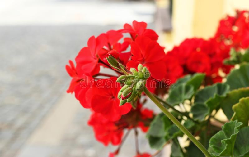 Buds and blossoms of red pelargonium. Love. Passion stock photography