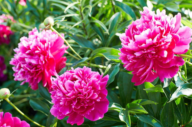 Buds bright pink peonies. In a summer garden royalty free stock images