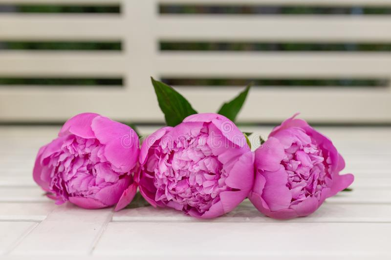 Buds of Lively Peonies in saturated rosa imagens de stock