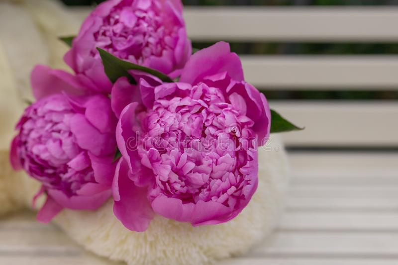 Buds of Lively Peonies in saturated rosa foto de stock royalty free