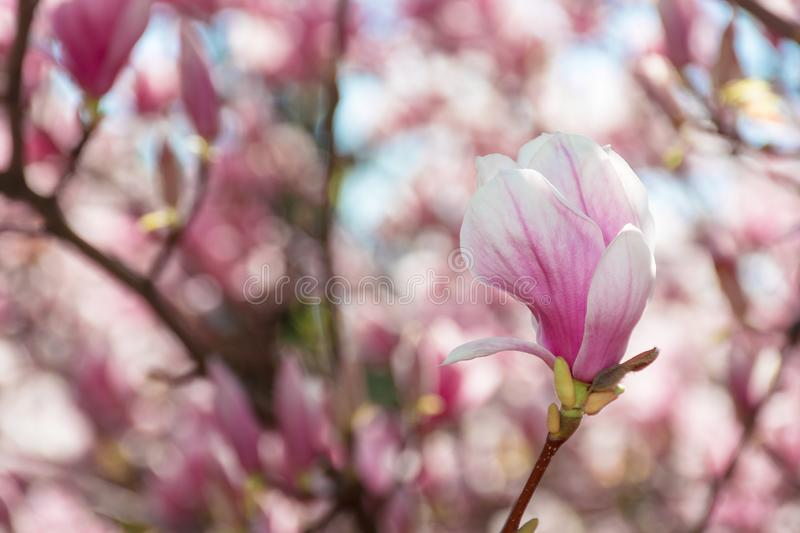 Buds of pink magnolia blossom royalty free stock photos