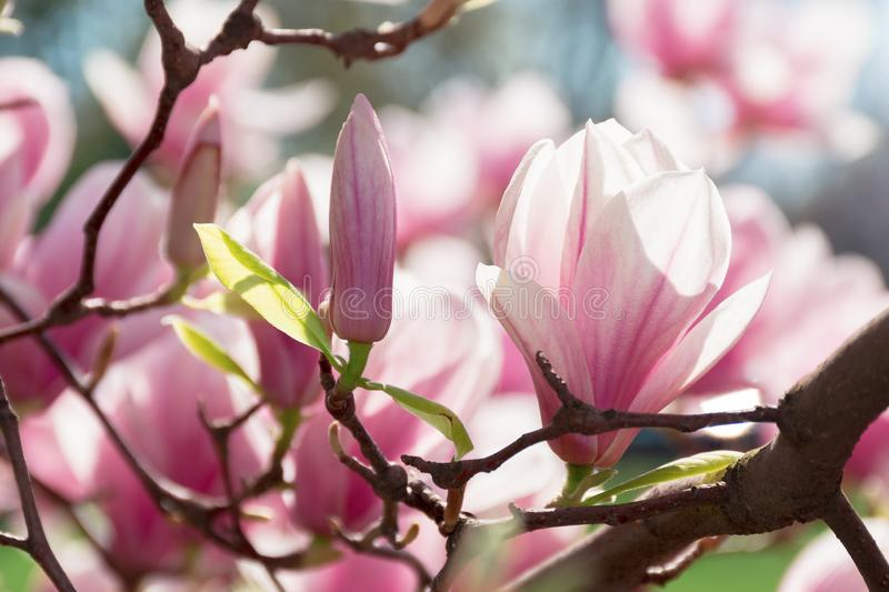 Buds of pink magnolia blossom stock photo