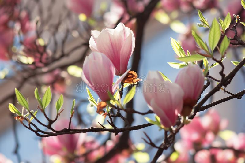 Buds of pink magnolia blossom royalty free stock images