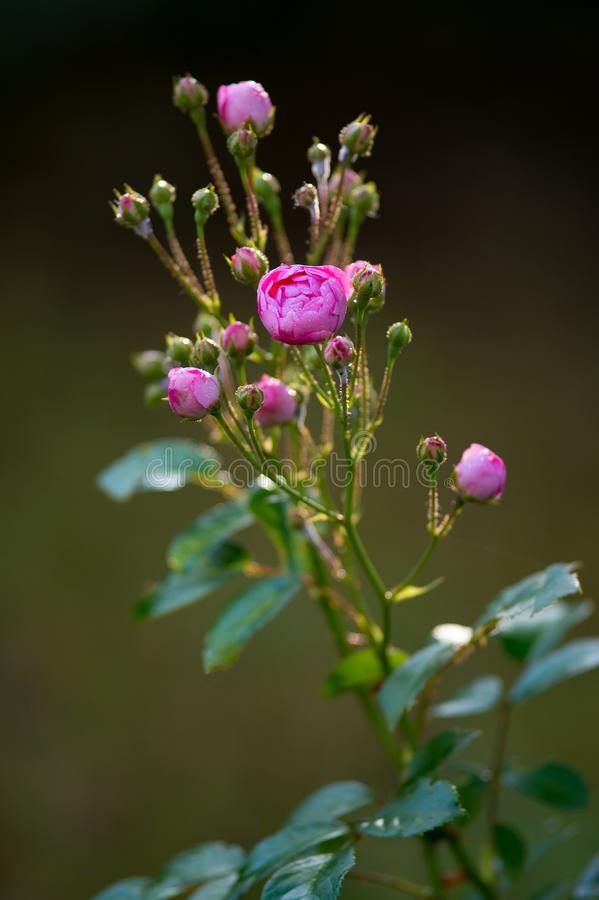Buds pink rose with dew drops in the garden. Beautiful flower af. Ter the rain flourishing close stock photos