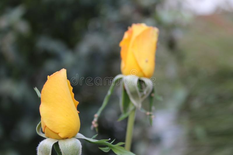Buds of roses royalty free stock photos