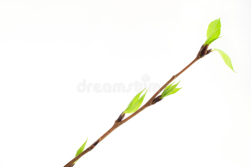 The buds and spring leafs on the twig young poplar. royalty free stock image