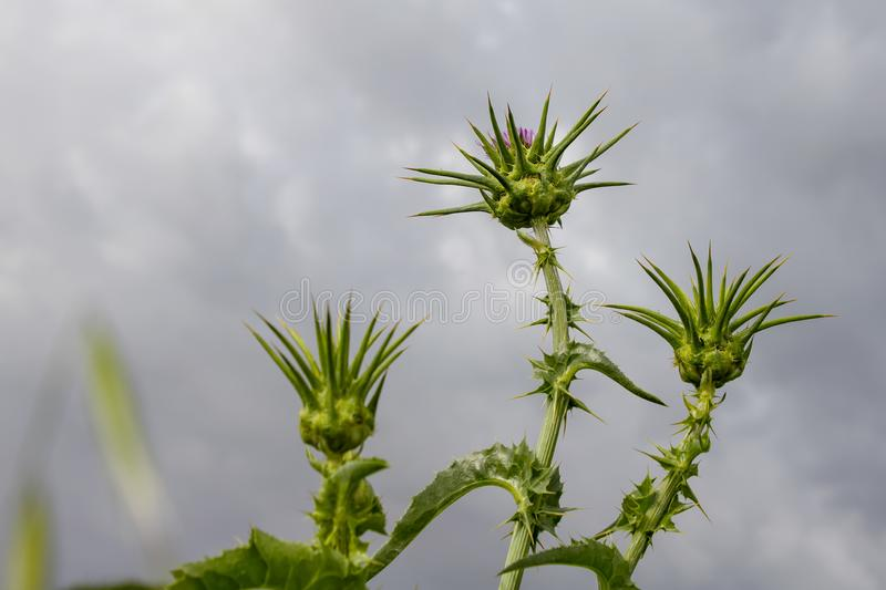 Buds and thistle flower on thorny sprigs against the backdrop of a stormy sky royalty free stock image