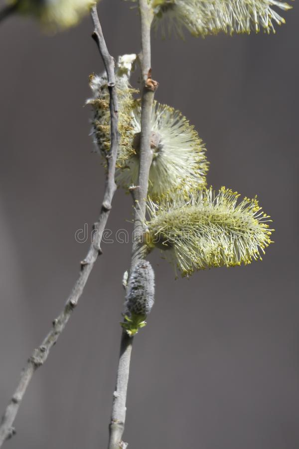 Buds on the tree stock photos