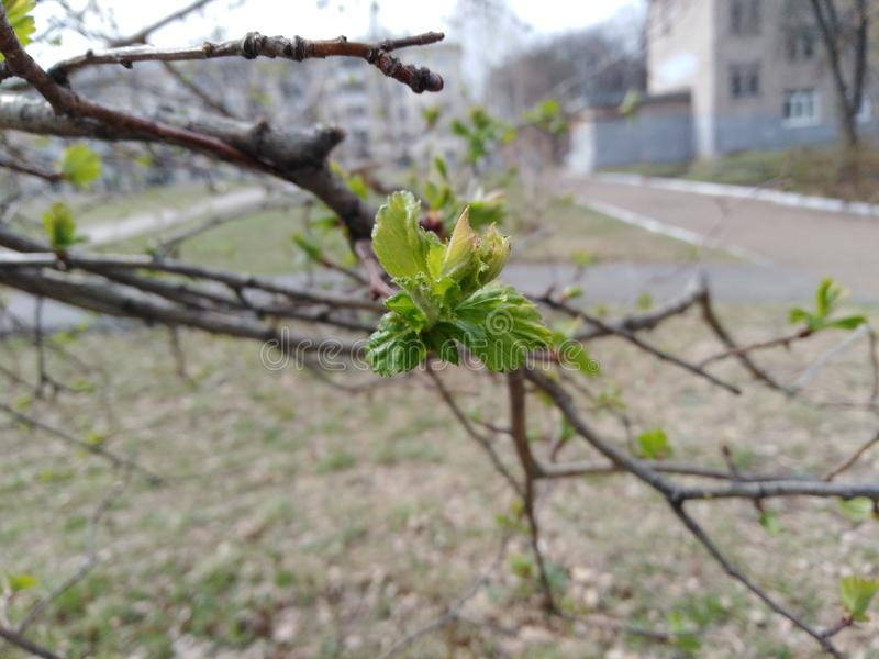 Buds on a tree. First signs of spring royalty free stock images