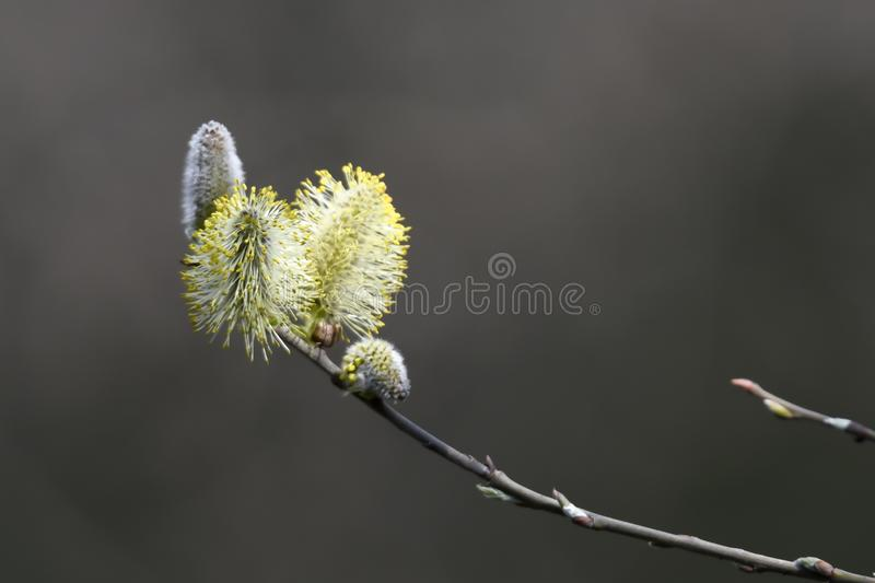 Buds on the tree royalty free stock photography