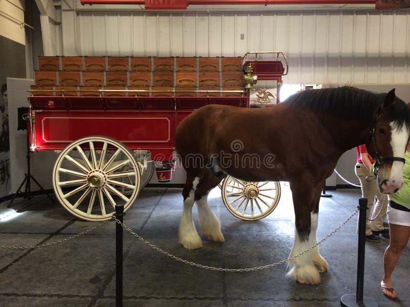 Budweiser Clydesdale bij de Warme de Lentesboerderij royalty-vrije stock afbeelding