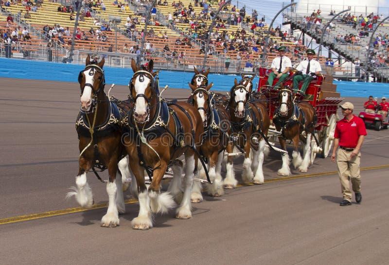 Budweiser Clydesdale hästlag arkivfoto
