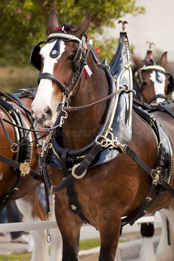 budweiser clydesdale konie zdjęcie royalty free