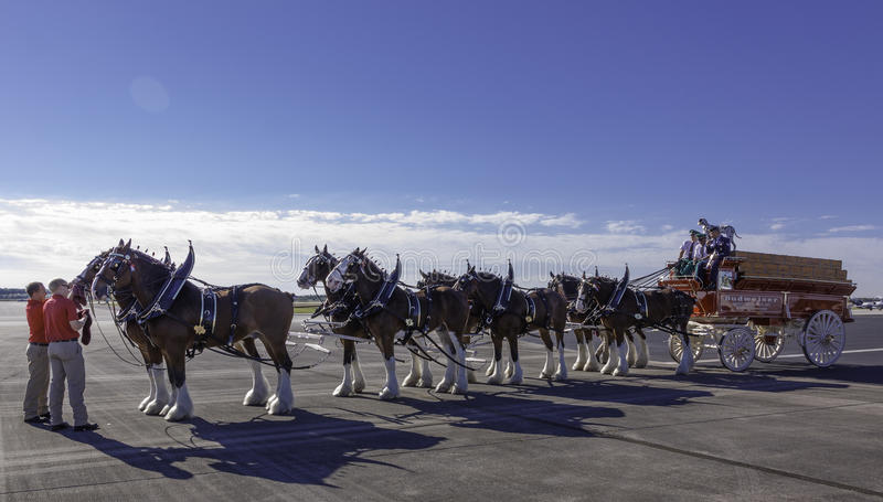 Budweiser Clydesdales obrazy stock
