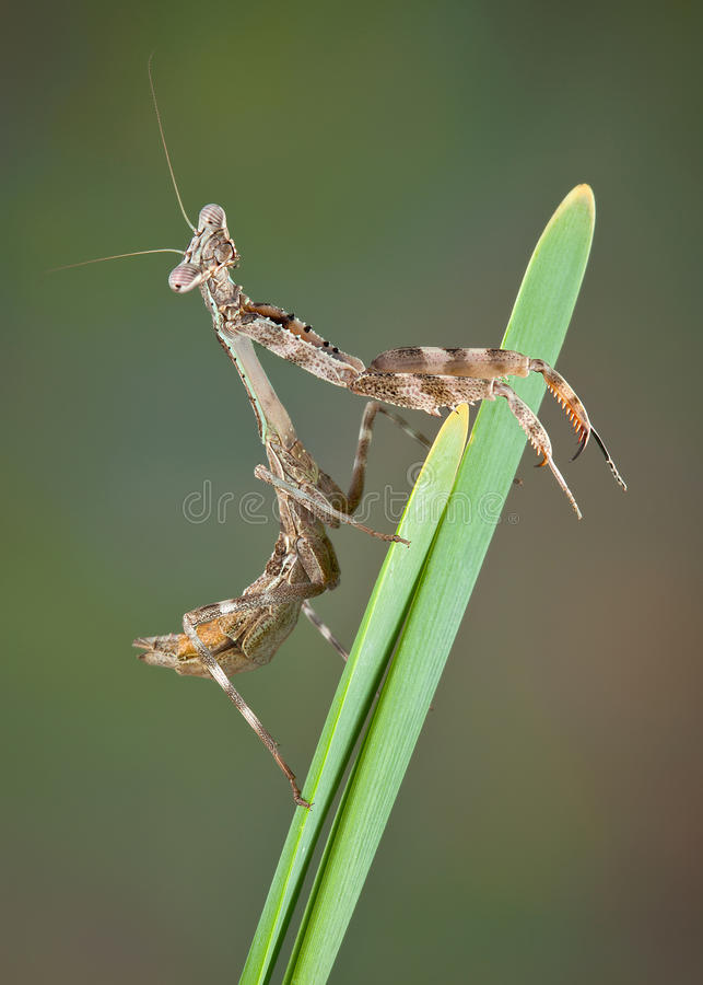Budwing Mantis On Plant Stock Images