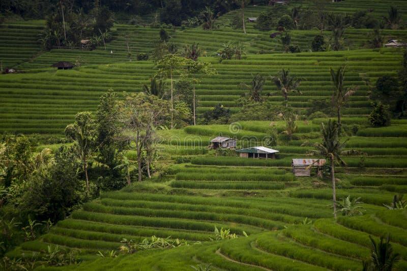 Budy w Jatiluwih ryż tarasie w Indonezja obrazy royalty free