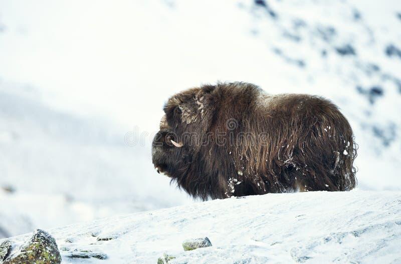 Bue di muschio che sta in montagne nevose fotografia stock