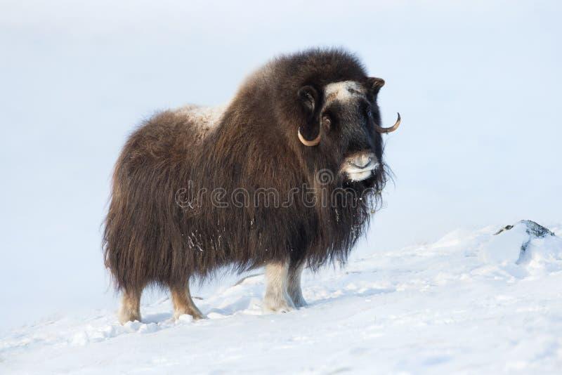 Bue di muschio nell'inverno fotografia stock