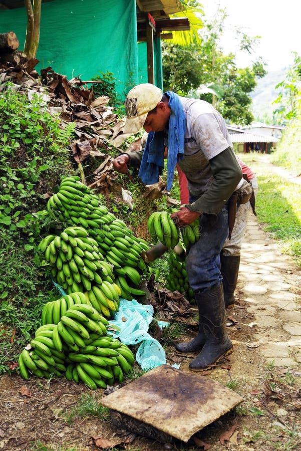 BUENA VISTA QUINDIO, COLOMBIA, 15 AUGUSTI, 2018: Skörda för banan arkivfoton