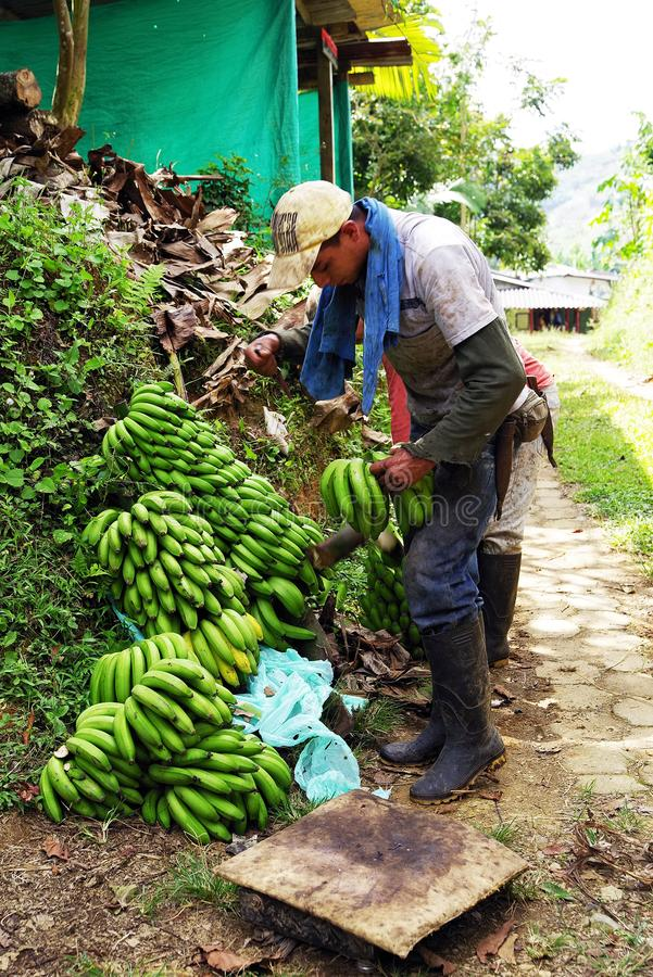 BUENA VISTA, QUINDIO, COLOMBIE, LE 15 AOÛT 2018 : Moisson de banane photos stock