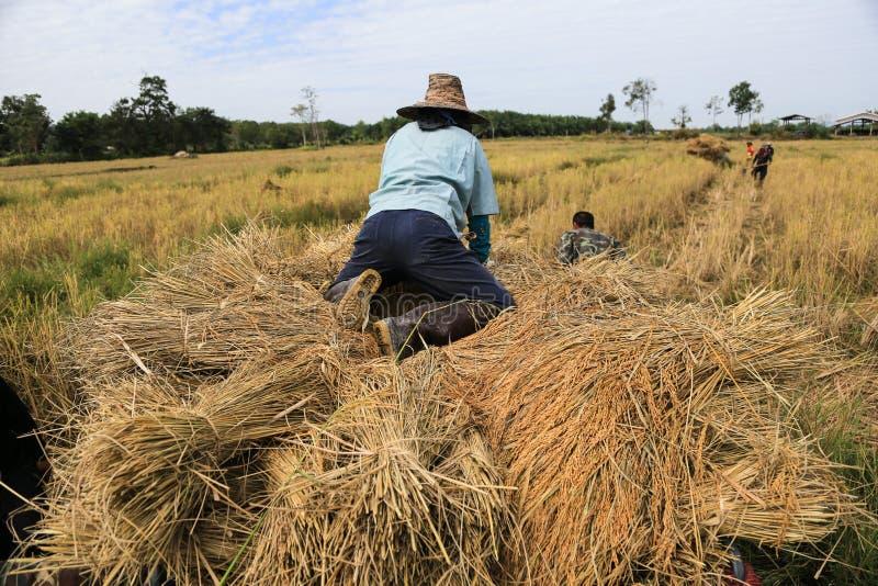 BUENG KAN, TAILÂNDIA - 8 DE DEZEMBRO: Colheita tradicional do arroz de Tailândia imagens de stock